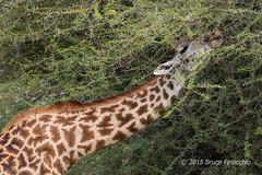 Masai Giraffe Picks Out The Tender Small Acacia Leaves With Its Tongue (brucefinocchio) Tags: masaigiraffe giraffe feedinggiraffe giraffestongue smallacacialeaves acaciathorns giraffatippelskirch tarangirenationalpark tanzania eastafrica