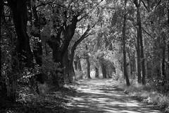*** (pszcz9) Tags: droga road drzewo tree światło light cień shadow pejzaż landscape polska poland bw blackandwhite czarnobiałe beautifulearth sony a77