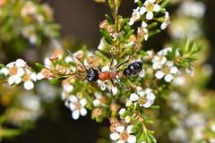 Jumping ant (jeans_Photos) Tags: hymenoptera ant jumping astarteazephyra astartea pikeroad mtcooke wandering westernaustralia myrmecia chasei