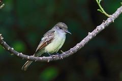Myiarchus tyrannulus (mazama973) Tags: bird oiseau frenchguiana guyane guyanefrançaise tyrannidae tyrandewied browncrestedflycatcher