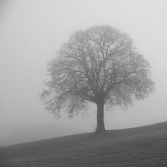 Arbre dans la brume *---- °----° (Titole) Tags: squareformat tree bw blackandwhite nb noiretblanc titole nicolefaton challengegamewinner