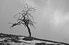 LONELY LITTLE TREE (LitterART) Tags: baum tree obstbaum steiermark österreich sonyrx100