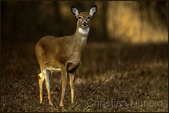 white-tailed doe (Christian Hunold) Tags: whitetaileddeer whitetaileddoe weiswedelhirsch johnheinznwr philadelphia christianhunold