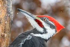 Grand Pic- Pileated Woodpecker - Dryocopus Pileatus (Gilbert Rolland) Tags: gilbertrolland pileatedwoodpecker grandpic rouge
