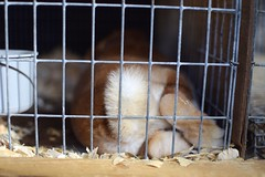 bunny ({Sam~I~am}) Tags: rabbit bunny tan cute baby animals cage farm show 2019 pennsylvania tail feet foot