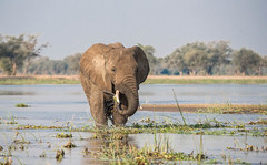 Rinsing the salad (Tris Enticknap) Tags: africanelephant zambia elephant lowerzambezi africa loxodontaafricana