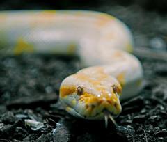Burmese python albino (Michal Jeska) Tags: burmese python albino pythonbivittatus snake pythonmolurusbivittatus tigerpython helios44m helios44 helios442 carlzeissbiotar nikond300