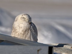 Grovin on a sunny  Sunday afternoon (Jacques Sauvé) Tags: harfang des neiges snowy owl búho del ártico aéroport de sthubert longueuil québec canada winter sno nieva neige invierno hiver