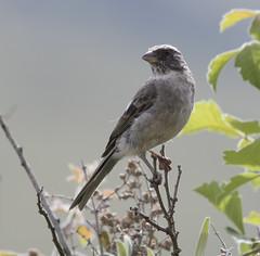 Streaky-headed Seedeater (Crithagra gularis)-7265 (Dave Krueper) Tags: africa aves bird birds fringillidae landbird passeriformes passerine shse seedeater southafrica