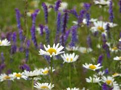mix di maggio (fotomie2009) Tags: flora flowers wildflower wild fiori nature spontaneous spontaneo margherita daisy white purple selectiv focus fiore prato