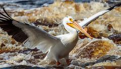 Touchdown (Images by Beaulin) Tags: rapidriver wildlife birds pelecanuserythrorhynchos waterbirds clementson americanwhitepelican lakeofthewoodscounty minnesota