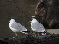 Ring-billed Gulls (FluvannaCountyBirder754) Tags: ringbilledgull gull claytorlakestatepark pulaskicounty pulaski wildlife nature outdoor outdoors outside animal creature virginia mountains birdwatching bird birding birder birds