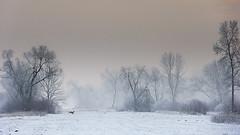 Winter leap (adambotond) Tags: winter outdoor landscape wildlife wildlifephotography wild wildanimal wilderness landscapephotography field snow tree adambotond canon canonef70200f4lisusm europe eos európaiőz europeanroedeer deer doe roe roedeer hungary magyarország mammal ruminant leap