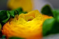 Ein Blümchen zum Sonntag/ a flower for SundaY (Andi Fritzsch) Tags: blume flower flowers flowercolors flowerpower flowerphotography nature natur naturephotography macro macrophotography closeup closeupphotography nikond5100 tamron60mm fantasticnature