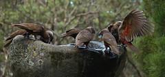 IMG_7029_lzn (kattabrained) Tags: nestormeridionalis new zealand parrot kaka