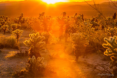 Fiery Sunrise Among the Cacti (dan@propeakphotography.com) Tags: america autumn biospherereserve california cholla coloradodesert cylindropuntiabigelovii famousplace internationallandmark joshuatreenationalpark lensflare mountains nps nationalpark northamerica orange red saturation sunrays sunrise touristattraction travel traveldestination travelandtourism unesco usa unitedstates yellow desert blythe us 300faves