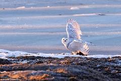 Madame Harfang a de l'appétit ! (Romain Claudepierre) Tags: nikon sigma 120300 f28 os wildlife bird oiseau canada animal