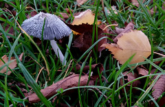 Delicate Beauty (Laurie's Lens) Tags: mushroom fungus silver grey green brown objects grass leaves winter nature outdoors