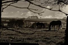 Through the Fence (Malc '64') Tags: ossett flushdyke horses farm field trees framed landscape nature sunlight blackandwhite monochrome westyorkshire yorkshire england uk britain