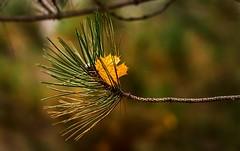 Caught (Wes Iversen) Tags: burton formarnaturecenter formarnaturepreservearboretum hss michigan sliderssunday tamron150600mm autumn autumncolor leaf leaves needles pine texture