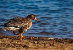 Great White-fronted goose (Explored 12/12/2018) (Lynn Tweedie) Tags: bird beak feathers 7dmarkii tail sigma150600mmf563dgoshsm water lake greatwhitefrontedgoose canon wyandottecountylake eos animal