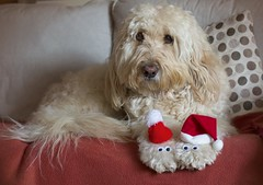 50/52 ... Patiently waiting for Santa paws (Chickpeasrule) Tags: santa hat santapaws paws googly eyes evie goldendoodle sofa throw festive 52weeksfordogs
