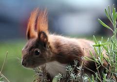 """N'abend, allerseits"" (♥ ♥ ♥ flickrsprotte♥ ♥ ♥) Tags: eichhörnchen arne elmo haustier nüsse natur flickrsprotte"