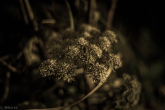 Up Close and Personal! (sharongellyroo) Tags: umbellifer umbelliferwednesday walkies glemsford suffolk flowers huw