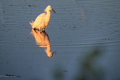 Small But Tasty (dngovoni) Tags: merrittisland action background bird egret florida snowyegret sunrise water wildlife winter unitedstates us