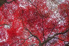 Secret Garden 5| Changdeokgung Palace, Seoul, Korea (Gilead Photography) Tags: autumnleaves autumncolours autumnseason colourful leaves colourfulleaves fall korea seoul beauty nature naturephotography travelphotography changdeokgung secretgarden changdeokgungpalace