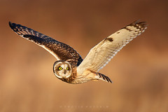 Head turn (Protik Mohammad Hossain) Tags: owl short eared seo shorteared flight bif raptor freeze fly