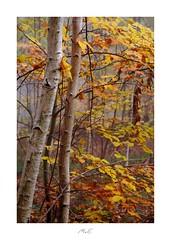 Pair of Birches (Max Angelsburger) Tags: autumn colors golden orange yellow gelb gold leafs blätter crisp knusprig birch pair birken paar foggy nebelig tree trunks badenwürttemberg herbst 2018 pznews pocketworldiglandscapedreamspotsvisualheavenlandscapephotolandscapelovernatgeoadventureearthexperiencemthrworldmajesticearth