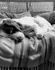 It's a dog's life (philipbrookes007) Tags: rest springer dog