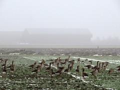 's Heerenhoek (Omroep Zeeland) Tags: ganzen de mist