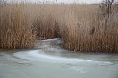 Sula Mörbischis (anuwintschalek) Tags: nikond7000 d7k 18140vr austria burgenland mörbisch mörbischamsee seebadmörbisch neusiedlersee järv see lake tauwetter sula thaw jää ice eis talv winter january 2019 kõrkjad reeds schilf