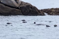 Habour Seals (dieLeuchtturms) Tags: 3x2 grosbritannien meer europa atlantik keltischesee cornwall scillyisles england celticsea europe greatbritain sea vereinigteskönigreich gb