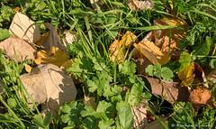 P9940735.jpg (DrOpMaN®) Tags: autumn olympus m43turkiye dmcgx1 flowersplants panasonic outdoor gx1 lumix m43 mzuiko30mmmacro