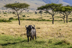 KENYAN SAVANNAH BUFFALO (John C. Bruckman @ Innereye Photography) Tags: kenya maasaimaraconservancy savannahbuffalo capebuffalo aggressive mudbath blackpeltedgrasslanddweller southafrica prideoflions nightattack killingcharge bachelorherds olddaggaboys zulu coth5