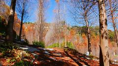 台中潭子落羽松 Taxodium, Tanzih District, Taichung (葉 正道 Ben(busy)) Tags: tanzihdistrict taichung 台中 潭子 落羽松 taxodium tree forest sky 樹 森林 天空 台灣 taiwan