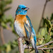 """01 Lazuli Bunting - 2nd Place Images from Last Conference - Frank Zurey • <a style=""""font-size:0.8em;"""" href=""""http://www.flickr.com/photos/100820670@N06/32104545468/"""" target=""""_blank"""">View on Flickr</a>"""