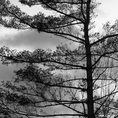 soft pine (vertblu) Tags: pine softpine bw mono tree clouds vertblu htmt bsquare 500x500