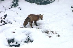 Fox in the yard (Karen @ Wall Flower Studio) Tags: wallflowerstudio foxphotosandvideonov2018wfs fox ontario hunting voles nature wildlife myhaliburtonhighlands snow carnivore karensloan november