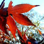 Japanese maple against the sky, ours thumbnail