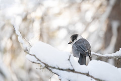 Curious, friendly but beautiful Canada Jay with gorgeous morning light (rmikulec) Tags: bokeh canada jay grey bird birding wild wildlife animal photo cute small curious ornithology cold winter sun sunny light branches hike tree snowshoeing nature algonquin park