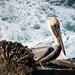 Pelican in La Jolla, California