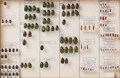 coleoptera-scarabaeidae-lymexylidae-lycidae-homolisidae-drilidae-4797 (nmbeinvertebrata) Tags: ccbync nmbe4797 61412 coleoptera scarabaeidae lymexylidae lycidae homalisidae drilidae