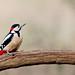 Great Spotted Woodpecker - RSPB Sandy