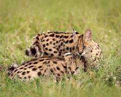 Servals at rest (Photobirder) Tags: servals servalmotherandkit eastafrica kenya masaimara
