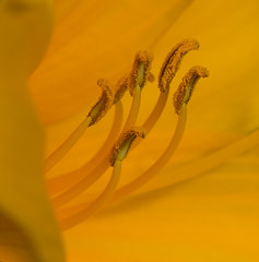 Fuzzy Fingers. (Omygodtom) Tags: flickr flower flora daffodil tamron90mm tamron macro soft usgs golden 7dwf coth5 colours wildflower