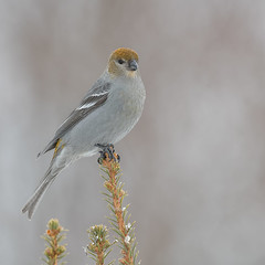 Pine Grosbeak (fem) (Joe Branco) Tags: macro flower grass bird birds ontario canada lightroom photoshop wildlife wildlifephotography branco joe nikond850 nikon joebrancophotography pinegrosbeak green